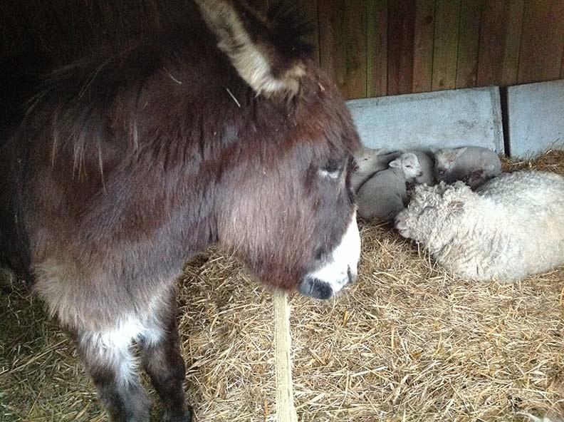âne et moutons
